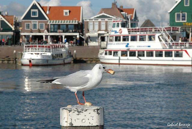 Una gaviota desde Volendam - Holanda