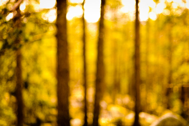 Pine forest out of focus