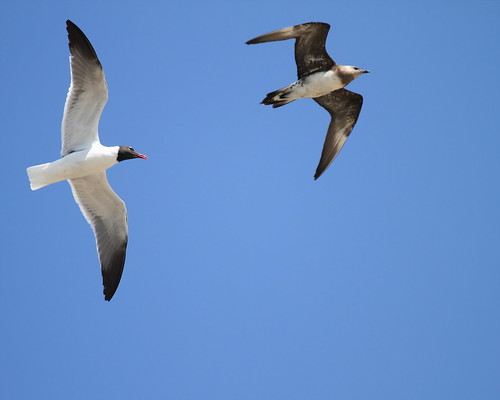 Laughing Gull Chasing Parasitic Jaeger   by Gregs eBirds