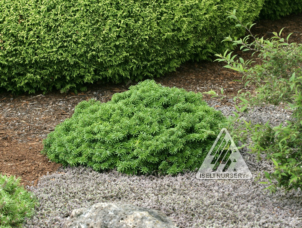 Abies Koreana Cis Zone 5 9 Height 1ft Tall And Wide R Flickr