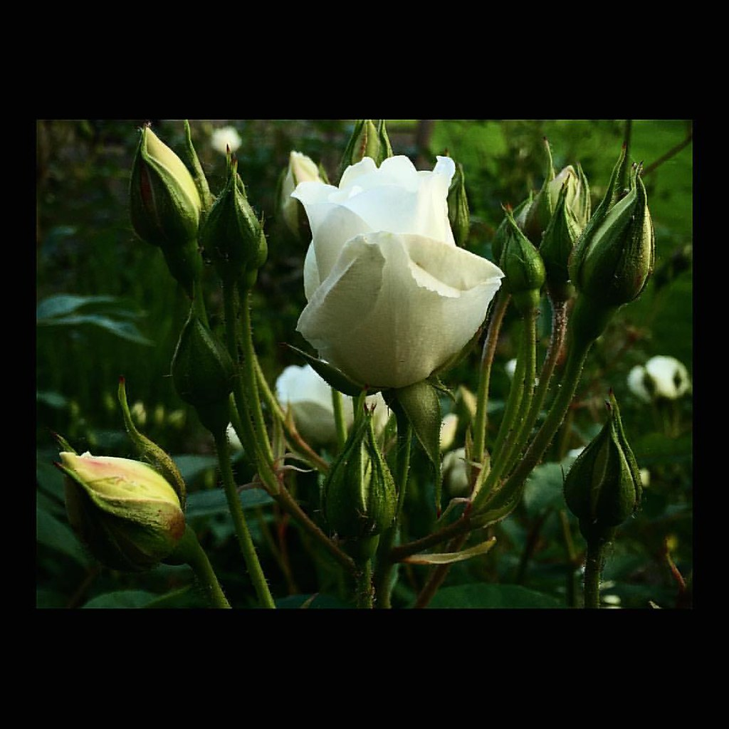 Fat Bud - photo by Motoki  Roses are in fat dud and ready to bloom.  #buddingbeauty #rose #peace #rosegarden #white #flowers #beautiful #stunning #nature #miracle #gardening #surrey #england #englishrose #iphoneography #バラ #薔薇 #ピース #つぼみ #花 #庭  #ガーデニング #自然