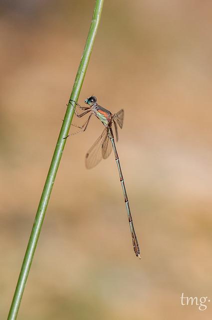 Willow Emerald Damselfly (male)