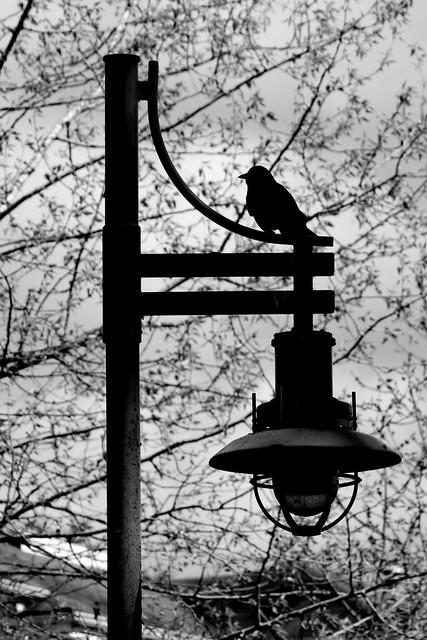 Crow On A Lamp B&W