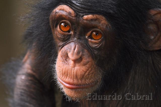 Cría de chimpancé _MG_1733a