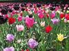 """New York – tulipány všech barev a tvarů, včetně """"Černého Tulipána"""", foto: Luděk Wellner"""