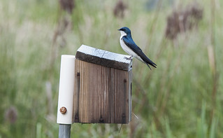 Tree Swallow | by SoundFocusPhotography