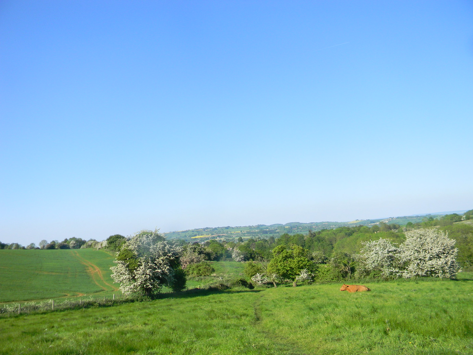 Cow in a field with a view Moreton-in-Marsh Circular