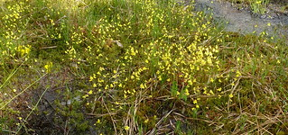 Utricularia subulata | by dogtooth77