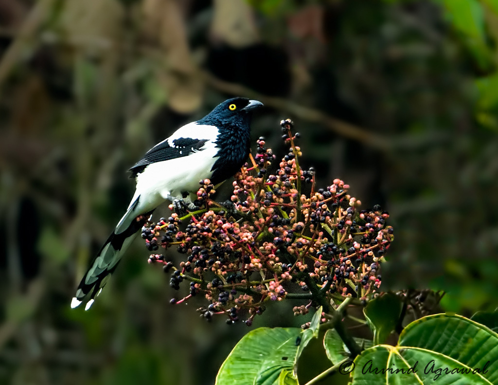 Magpie Tanager - _MG_8115-1