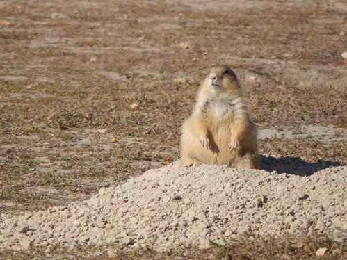 Cactus Flat - tamme prairie dog - 1