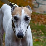 Greyhound Adventures at Spy Pond, Arlington MA, Nov 1st 2015