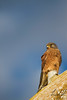 Rock Kestrel- West Coast National Park, South Africa by wsweet321