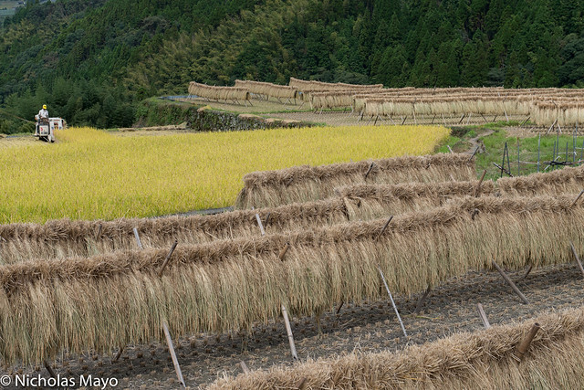 Harvesting Rice & Drying Racks