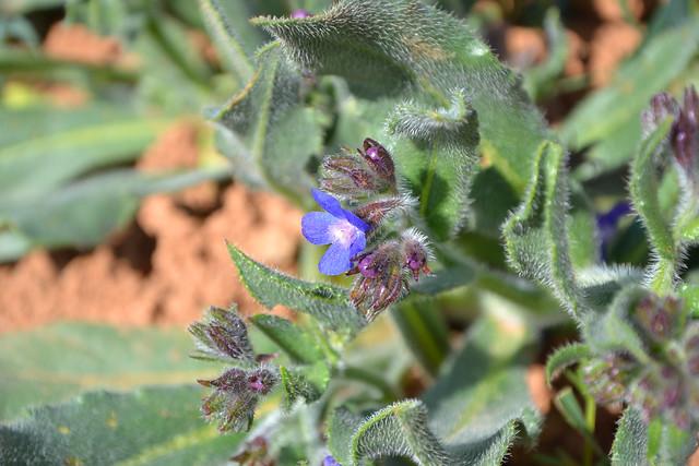 Anchusa italica - buglosse d'Italie 32441459236_0a6d7a12ae_z