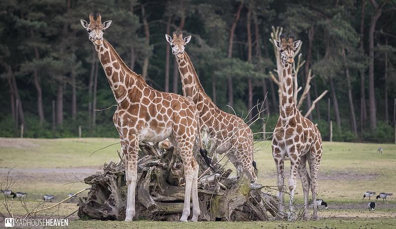 Safaripark Beekse Bergen - 0236