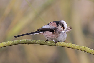 2012 03 23_Long tailed tit | by Jonnersace