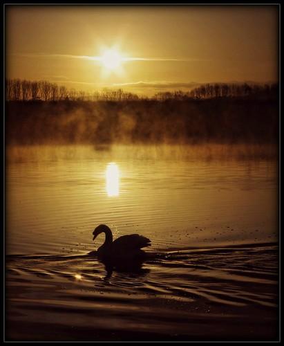 uk morning light sun mist nature water birds silhouette fog sunrise dawn spring swan loveit preston daybreak brockholes