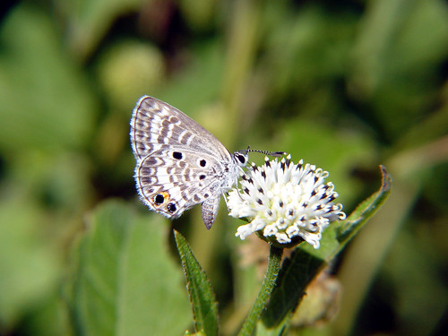 Miami blue butterfly 1 | by USFWS/Southeast