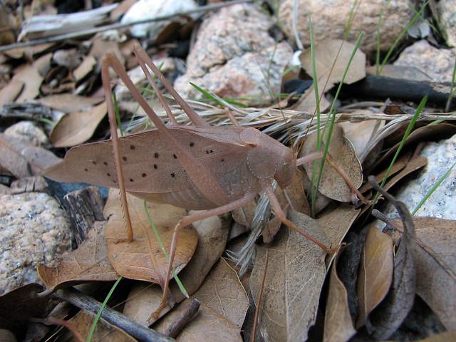 Round-headed katydid