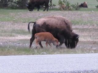 Yellowstone: BABY BUFFALO! | by mormolyke