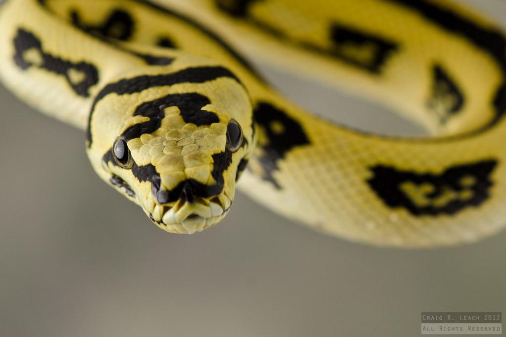 ... 50/50 Jungle/Jaguar Carpet Python   by -craigulator-