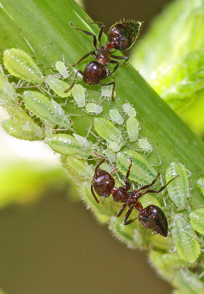Ants tending aphids, Julie Metz Wetlands, Woodbridge, Virginia