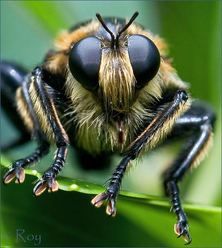 georgia albany robberfly cohutta ellijay naturesfinest beemimic specanimal beelike specanimalphotooftheday roybrown roybrownphotography roycohutta