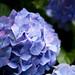 2012の紫陽花