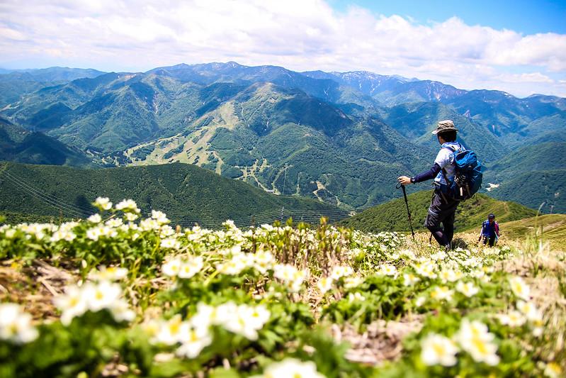 平標山のハクサンイチゲ