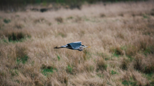 heron wildlife bird flying flight pacificnorthwest nature canon nisquallynationalwildliferefuge canonef100400mmf4556lisusm canoneos5dmarkiii johnwestrock