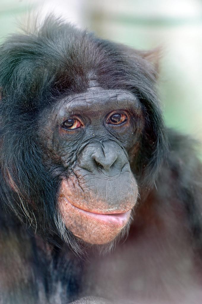 Portrait of a bonobo