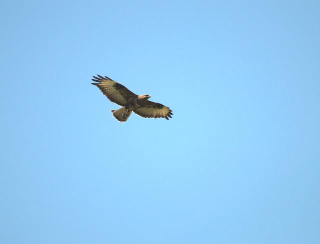 aguia de asa redonda