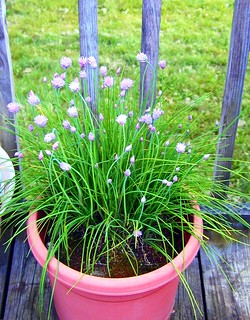 My chives are blooming | by beamoore