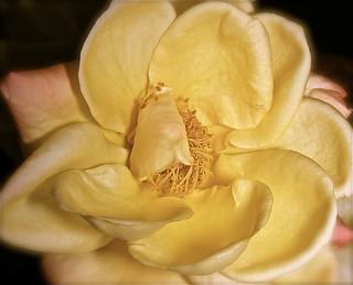 BON WEEK-END dans le coeur d'une ROSE**FOR YOU