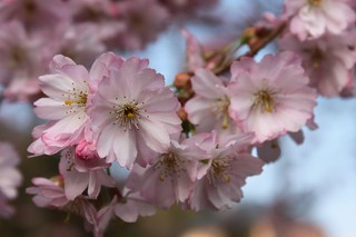20110327_1253_cherry-blossom | by abelpc_5355