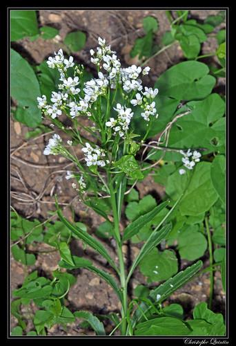 Raifort (Armoracia rusticana) | by cquintin