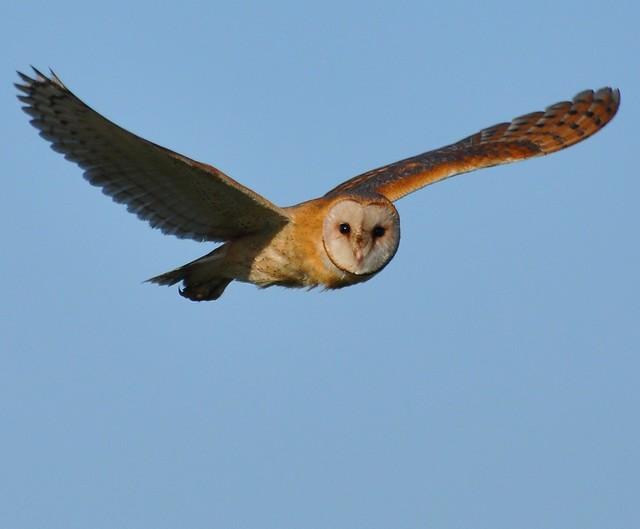 Tyto alba - Common Barn-owl - Effraie des clochers - 12/04/09