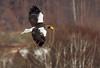 _L1D5553Steller's Sea Eagle (Haliaeetus pelagicus) by Lathers