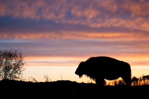sunset poser buffalo farm ottawa