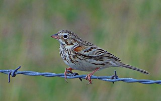 Vesper Sparrow | by Jay Phagan