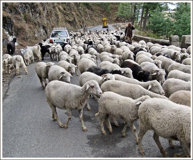 Road Block - A flock of Gaddi sheep!