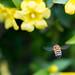 ミツバチ by nubobo