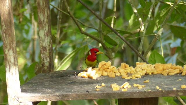 red-headed barbet - Cabézon à tête rouge - Eubucco bourcierii