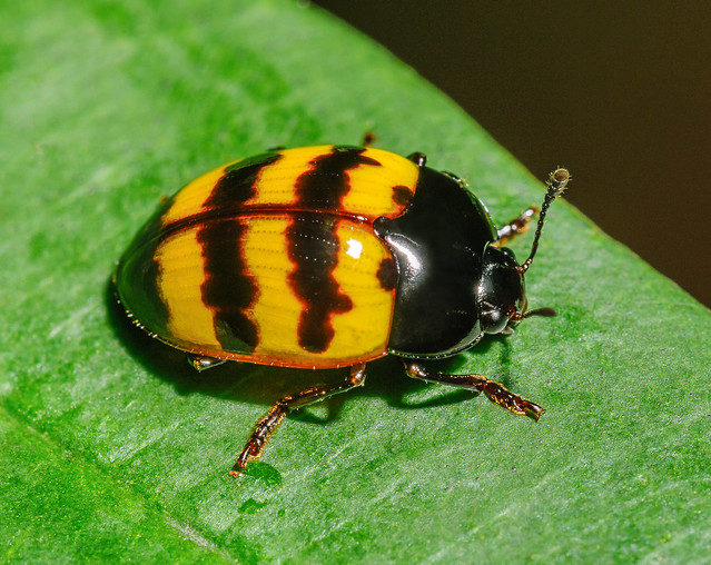 Pleasing Fungus Beetle (Erotylidae) 113p-24323