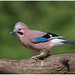 Eurasian Jay - Photo (c) Martha de Jong-Lantink, some rights reserved (CC BY-NC-ND)