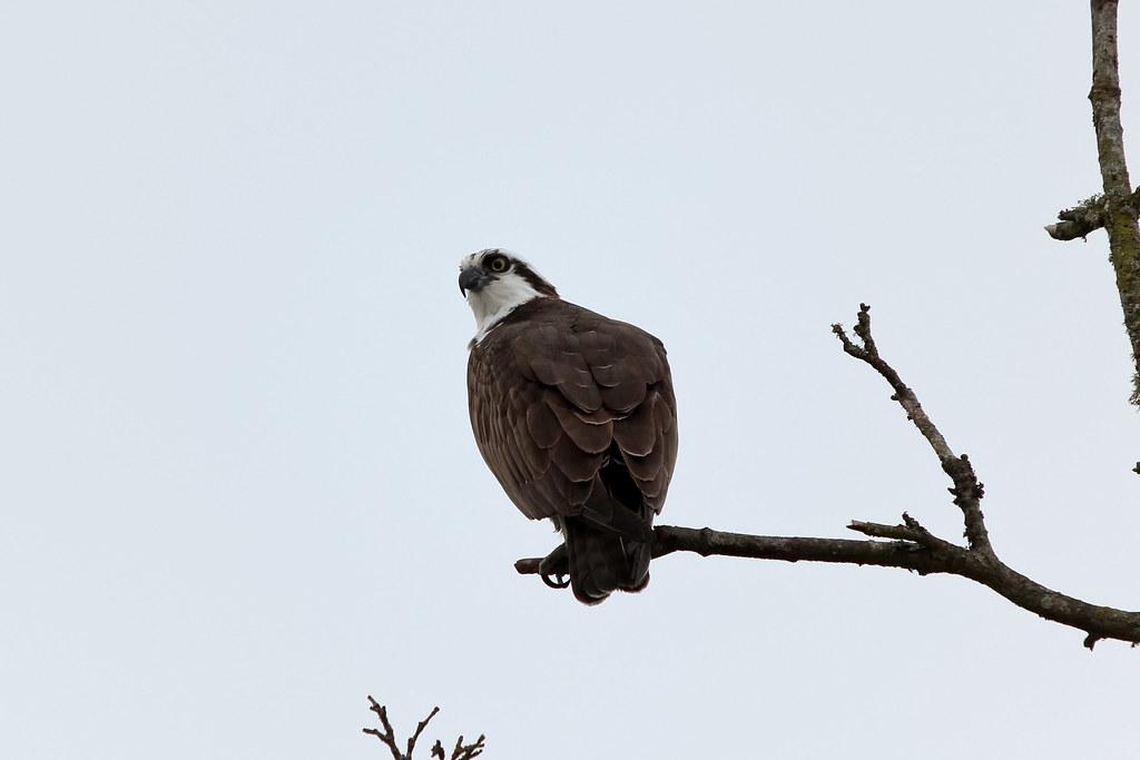 Chambers Creek Osprey