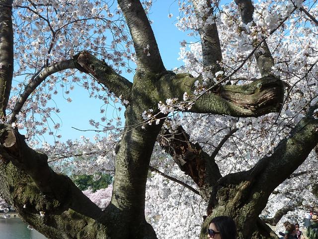 blossoms12