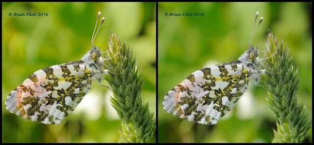 Orange Tip Butterfly - 3d crossview