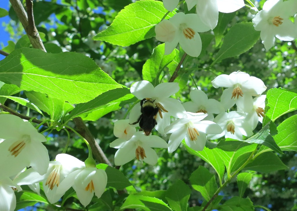 Happy bee on Japanese Snowbell