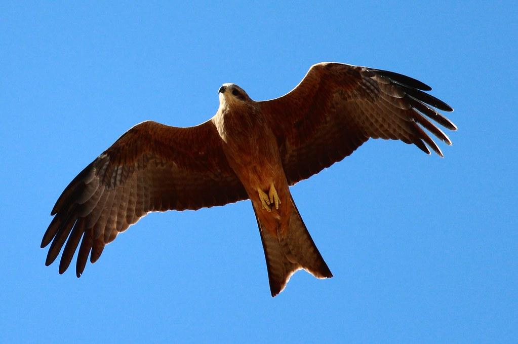 2012 03 Img 1010 Bird Of Prey Windorah Queensland Austr Nkernick Flickr